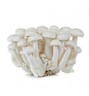 日本小丁菇